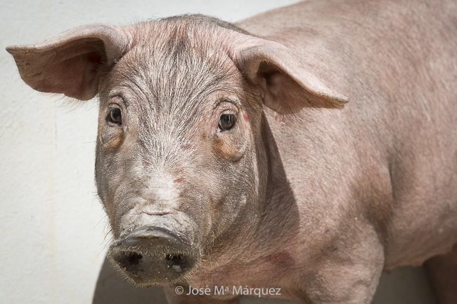 Cerdo ibérico. Retrato animal. Fotografía industrial y publicitaria para empresas. Fotógrafo profesional Granada