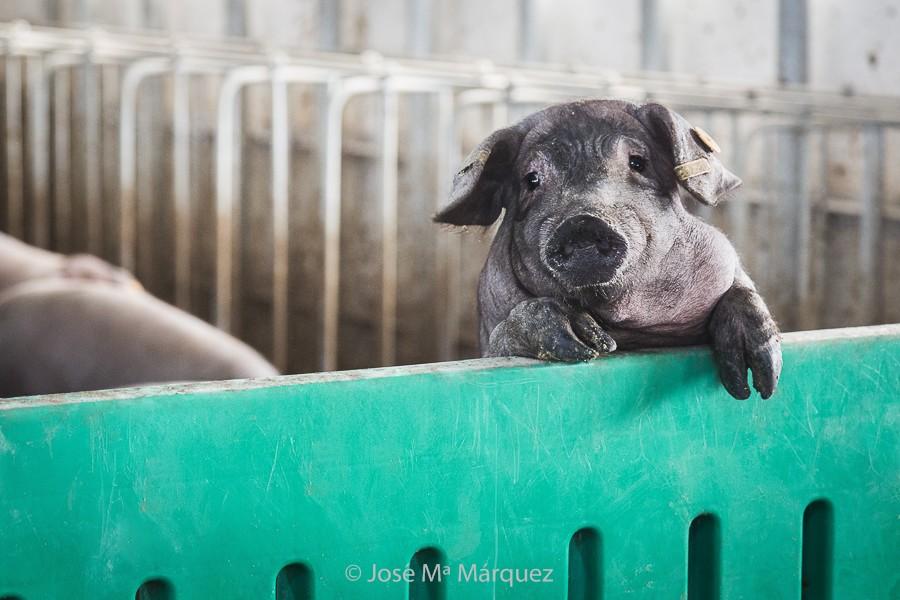 Reportaje publicitario. Lechón ibérico asomado. Retrato animal. Fotografía profesional empresas Granada
